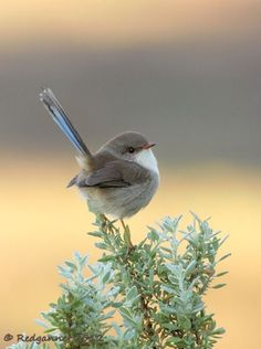 Gray bird with a blue tail