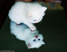Too_Cute_White_Kitten.jpg (700×542)