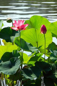 ~DOWN BY THE LILY PAD~