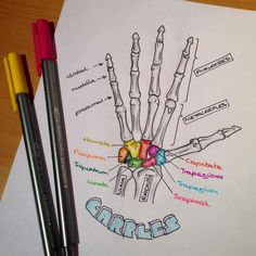 Bone Structure of the hand