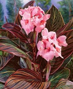 Pink Sunburst Canna Colors: Dark Red, Peach, Pink Deer Resistant: Yes Max Height (feet): 3 Plant Lighting: Full Sun, Partial Sun/Shade Season Color: Summer Spread: Zones: Canna Flower, Canna Lily, Flower Pots, Cactus Flower, Exotic Flowers, Pink Flowers, Beautiful Flowers, Yellow Roses, Pink Roses