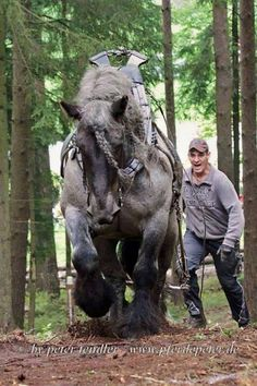 His name is Wotan, a blue roan Belgian Draft horse