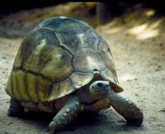 Critically endangered Ploughshare tortoises stolen from breeding facility  June 2009. Thieves have stolen four of the world's rarest tortoises from Durrell Wildlife Conservation Trust's pre-release enclosures inside Baly Bay National Park, Madagascar.