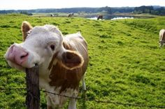 Happy Cow on the pasture, scratching its head with a fence