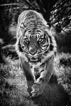 Kitty Cat by David Morgan / Beautiful Cats, Animals Beautiful, Tiger Tattoo Sleeve, Tattoo Ink, Arm Tattoo, Hand Tattoos, Small Tattoos, Sleeve Tattoos, Tiger Spirit Animal