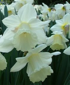 Narcissus Mount Hood - Trumpet Daffodils - Narcissi - Fall 2013 Flower Bulbs