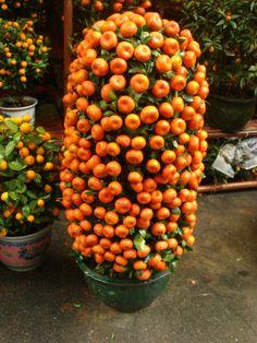Guangzhou Spring Festival Flower Fair, Cumquat, Good luck plant