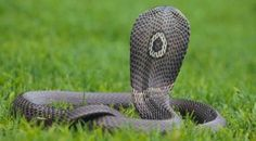 The beatiful monocled cobra (Naja kaouthia) is a deadly venomous cobra species widespread across South and South East Asia