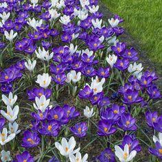 Crocus vernus 'Flower Record' (violett) und 'Jeanne D'Arc' - tolle Kombination für den Frühling - Pflanzzeit ist im Herbst online bestellbar bei www.fluwel.de