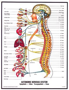 This is why chiropractic is so Important: You can see how your spinal cord effects the rest of your body. Chiropractic helps keep your spine in line and body functioning properly! Autonomic Nervous System, Body Nervous System, Human Body Anatomy, Spine Health, Chiropractic Care, Body Systems, Anatomy And Physiology, Massage Therapy, Physical Therapy