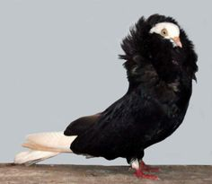Capuchine Pigeon | Feathered in ones own Fashion