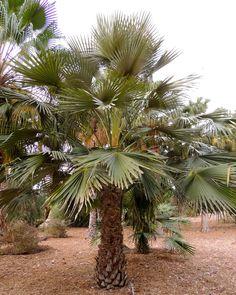 Livistona fulva Los Angeles arboretum Tropical Plants, Palm Trees, Planets, Nature, Photos, Outdoor, Landscaping, Paisajes, Palm Plants