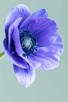 Photographing blue anemones - Cloverhome.nl