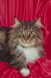Maine Coon...I miss my kitty Smoky. He was a Maine Coon.