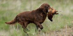 Flat-Coated Retriever   The 10 Best Bird Hunting Dogs For All Types Of Game And Hunts