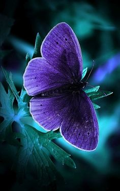 Cool Phone Wallpapers with glowing Blue Butterfly in the Dark - Animal Lovers Blue Butterfly Wallpaper, Purple Butterfly, Butterfly Wings, Purple Teal, Deep Purple, Beautiful Bugs, Beautiful Butterflies, Beautiful Creatures, Animals Beautiful