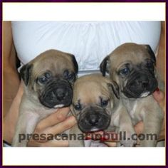 Available Puppies Presa Canario puppies with Champion pedigree parents. Huge, lovable, protective & great with children! Visit Montreal Presas for pictures and information. http://presacanariobull.com/available-presa-canario-puppies/