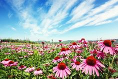 Exhibiting powerful healing properties, Echinacea is a key ingredient in many lozenges, teas and tinctures. Here's just a glimpse into the history and many health benefits of Echinacea!