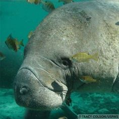 mergency: Help Protect Manatees  Record losses in recent years of Florida manatees underscore the urgent need for action.