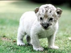 Albino Lion. So sweet!