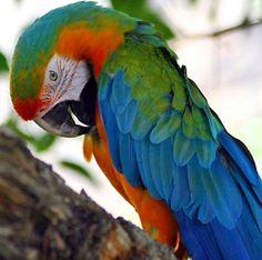 harlequin macaw  (photo by malamutechaos)