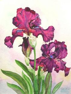 Iris Flower Information and Facts