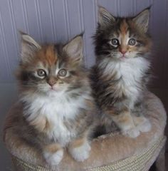 When it comes to Maine Coon Vs Norwegian Forest Cat both can make good pets but have some traits and characteristics that are different from each other Kittens Cutest Baby, Cute Cats And Kittens, I Love Cats, Crazy Cats, Cool Cats, Adorable Kittens, Funny Kittens, Pretty Cats, Beautiful Cats