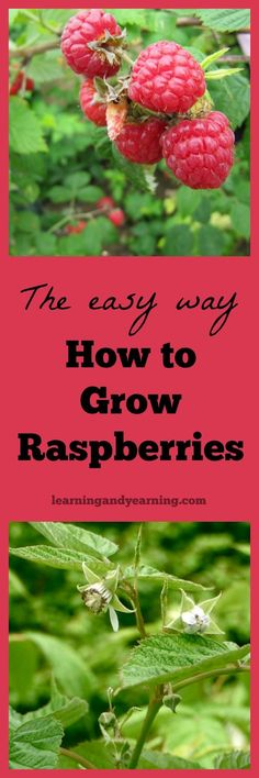 Organic Gardening Ideas Growing fruit can be more challenging than vegetables, but once you learn the easy way to grow raspberries, you'll never grow them any other way. Organic gardening and natural living at its best! Organic Vegetables, Growing Vegetables, Growing Plants, Gardening Vegetables, Fruit Garden, Edible Garden, Hydroponic Gardening, Hydroponics, Hydroponic Growing
