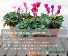 Cyclamen o Violeta de los Alpes. Tips & cuidados.