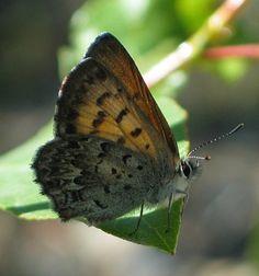 Burns Blog Butterfly https://www.vancouvertrails.com/trails/burns-bog-delta-nature-reserve/