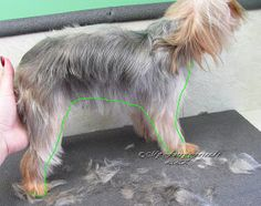 Pet Grooming: The Good, The Bad, & The Furry: Scissoring a Yorkie