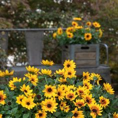 Sunbelievable Sunflowers make a beautiful single container planting for any garden and landscape - National Garden Bureau Easy To Grow Flowers, Growing Flowers, Container Plants, Container Gardening, Natural Ecosystem, Rose Trees, Potting Soil, Begonia, Petunias