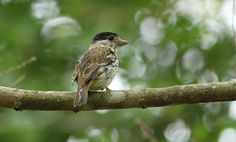 The African broadbill (Smithornis capensis) is a species of bird in the Eurylaimidae family. It is found in Angola, Botswana, Cameroon, Central African Republic, Republic of the Congo, Democratic Republic of the Congo, Ivory Coast, Gabon, Ghana, Kenya, Liberia, Malawi, Mozambique, Namibia, Nigeria, Rwanda, Sierra Leone, South Africa, Swaziland, Tanzania, Uganda, Zambia, and Zimbabwe. Its natural habitats are subtropical or tropical dry forests, subtropical or tropical moist lowland forests…