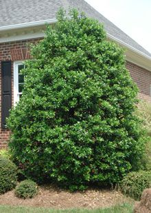 Nellie Stevens Holly - Here's why Nellie Stevens hollies have become so popular:    Ideal selection for hedges and privacy screens  Grows up to 3 ft. per year!  Thrives on neglect