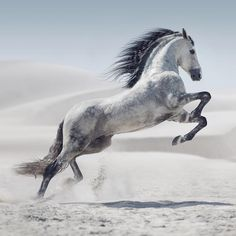 Picture presenting the galloping white #horse By konradbak - Stock.Adobe.com © #caballo #animal #adobestock