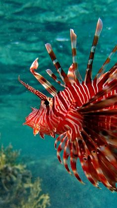 Lion fish...lovely in its native environment, DEADLY when introduced as an envasive species!!!