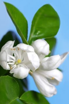 Neroli hydrolat is named after the Italian Princess Nerola, the water is used for many beauty preparations, particularly as a skin tonic and cleanser. Neroli is an evergreen tree up to 10 metres high with glossy, dark green leaves and fragrant with flowers from which the essential oil of Neroli is distilled. Available in 100ml canister spray or 500ml bottle. Why not try it out? http://penny-price.com/shop/neroli-hydrolat/