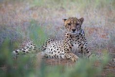 Cheetah -tsavo East by Roberto Marchegiani Fine Art Prints, Framed Prints, Canvas Prints, Marvel Wallpaper, Cheetah, Art Reproductions, Poster Size Prints, Photo Puzzle, Original Artwork