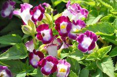 flor Torênia - Pesquisa Google