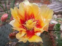 Black-Spine Prickly Pear Cactus Yellow Red Flowers 1 Pad #Cactus