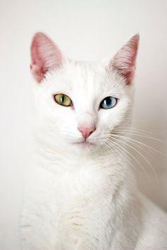 beautiful odd-eyed cat