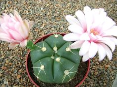 Gymnocalycium horstii – Sider Cactus - See more at: http://worldofsucculents.com/gymnocalycium-horstii-buining