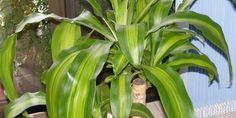 Plantas de interior beneficiosas. La Dracena o Tronco de Brasil. El Tronco de Brasil (que es como normalmente lo conocemos) está especialmente indicado para habitaciones con muebles nuevos. Absorbe con facilidad el formaldehído que suelen desprender. Los cuidados son relativamente sencillos, ya que es una planta bastante resistente. Necesitan humedad, luz indirecta y un ambiente cálido, seguro que en estas condiciones prospera adecuadamente.