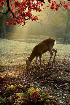Sika Deer in Autumn Morning
