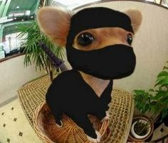 Ninja chihuahua..... Just found Lilly,s Halloween costume for this year!