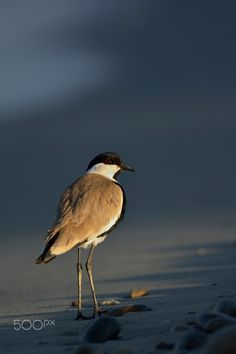 Spur-winged Lapwing - Thank you all for paying attention on my work, your likes and your comments