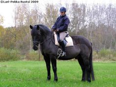 Finnhorse gelding Svartpeppar
