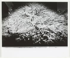 Sakura by Daido Moriyama