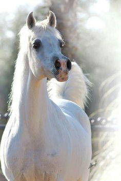 الجواد العربي arabic horse