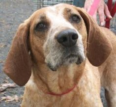 Karaoline is an adoptable English Coonhound Hound Dog in Salem, NEW HAMPSHIRE. If you're looking for an accessory to lay on the rug in front of your fireplace, Karaoline is your girl! Karaoline is a dog who, shall we ...